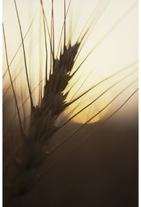Modern Marvels: Wheat