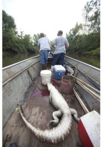 Swamp People: Swamp Wars