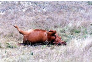 Cattle Mutilations