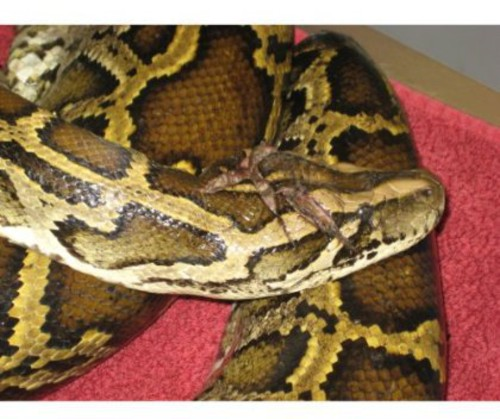 Monsterquest: Pythons in America